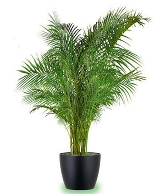 Cây cau vàng: Theo đánh giá từ nghiên cứu của NASA, loại cây này có tác dụng làm sạch không khí rất tốt, nhất là việc làm ẩm phòng trong thời tiết khô hanh của mùa đông.