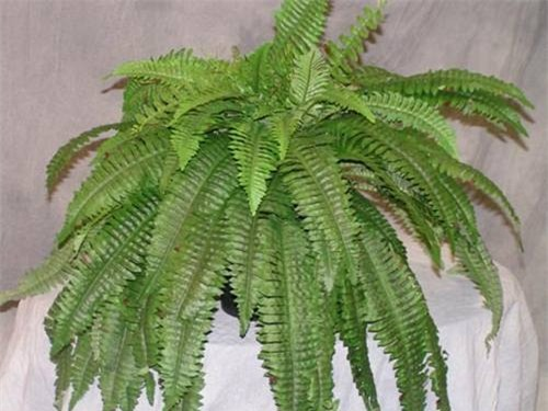 Cây dương xỉ: Nhiều nghiên cứu chỉ ra rằng loại cây dương xỉ giúp loại bỏ các kim loại nặng như thủy ngân và asen từ đất.