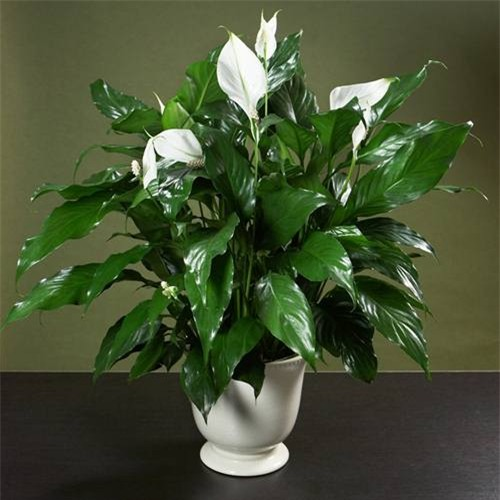Cây lan ý: Đây là một loài hoa vừa làm đẹp cho căn phòng lại còn giúp lọc chất độc ra khỏi bầu không khí rất tốt.