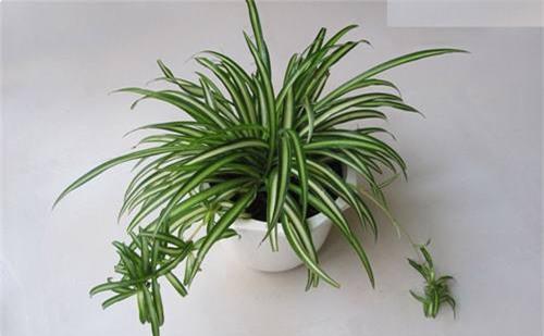 Cây dây nhện: Theo nghiên cứu của Tiến sĩ Wolverton năm 1985, trồng cây dây nhện trong phòng ngủ giúp loại bỏ hai loại chất độc carbon monoxide và nitrogen dioxide