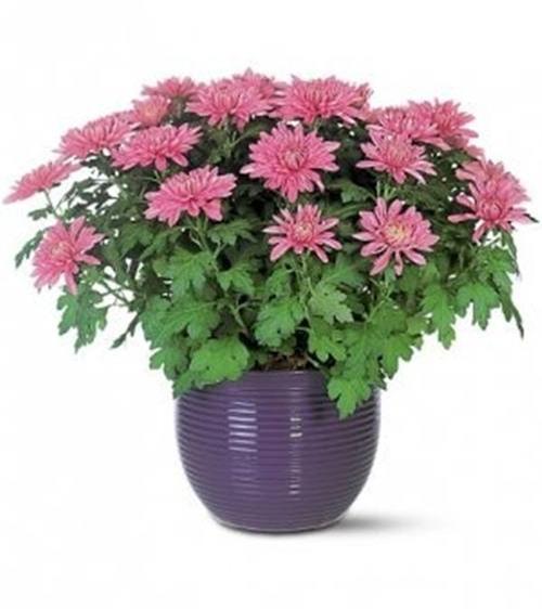 Cây hoa cúc: Nếu trong nhà bạn có người hút thuốc lá thì đặt một chậu cây hoa cúc trong nhà giúp loại bỏ hàm lượng chất độc hại benzen. Tuy nhiên cần lưu ý không ăn hoặc chạm vào cây vì chúng có thể gây độc cho da.