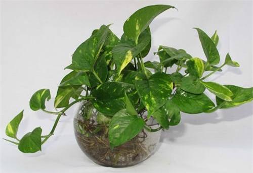 Cây trầu bà vàng: Cây trầu bà vàng giúp loại bỏ chất độc formaldehyde có trong không khí.