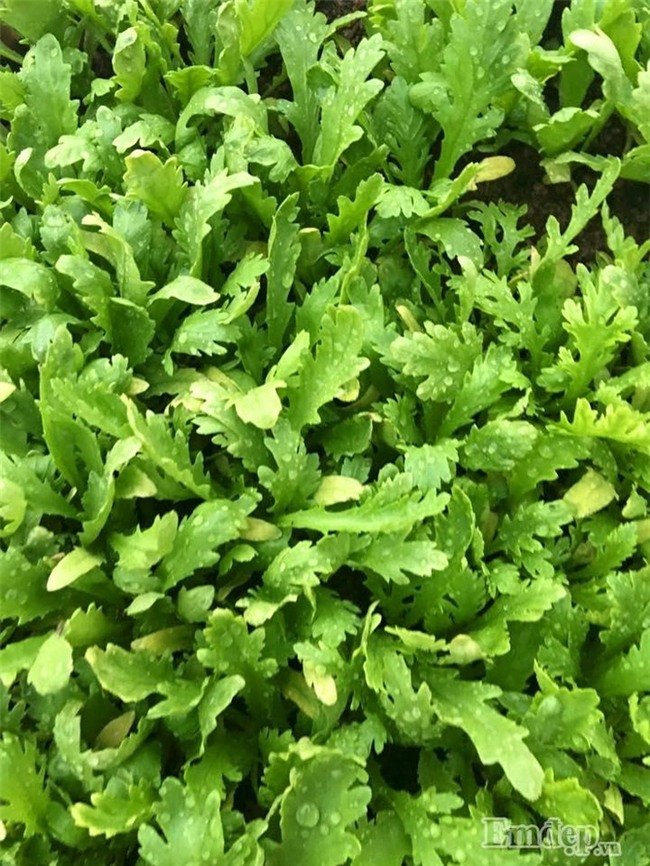 Sân thượng rau quả sạch xanh ngút ngàn của mẹ đảm ở Hà Nội