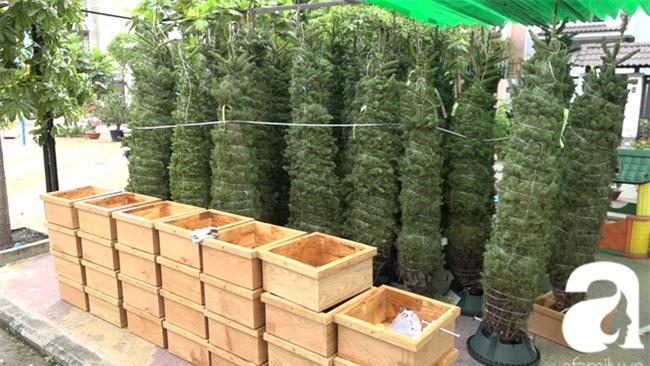 Cận Giáng sinh, cây thông Noel thật nhập từ Mỹ, giá bạc triệu vẫn hút hàng ở Sài Gòn - Ảnh 1.
