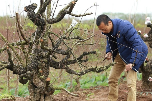Gốc đào rừng cổ thụ của vườn đào Hiệp Vụ không có giá thuê dưới vài chục triệu đồng. Ảnh: Vườn đào Hiệp Vụ
