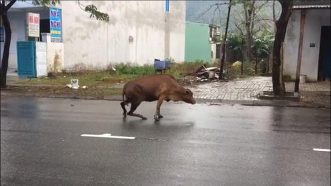 Bị chặt gãy chân vì miếng ăn, chú bò khiến ai xem cũng phải xót xa - Ảnh 2.