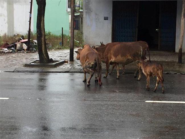 Bị chặt gãy chân vì miếng ăn, chú bò khiến ai xem cũng phải xót xa - Ảnh 3.