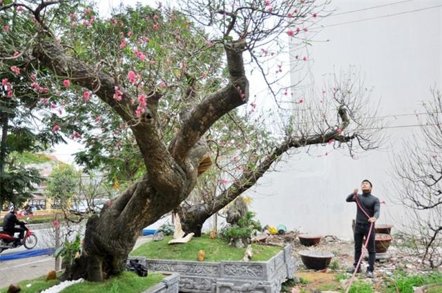 Hai cây đào thế long quấn thủy có chiều cao gần 2m, đường kính thân 100cm với tuổi đời lên tới 80 năm, thuộc giống đào rừng nguyên thủy ở Mộc Châu (Sơn La), đã ghép cành đào Nhật Tân (Hà Nội).