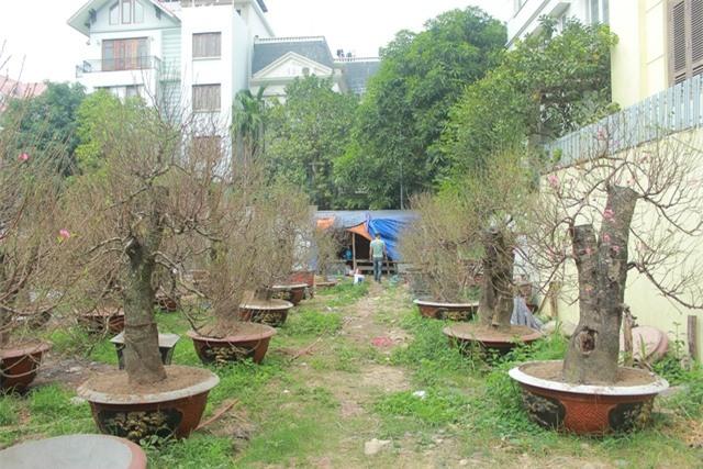 Ngoài hai cây đào cổ thụ độc đáo này, vườn đào nhà anh Hoan còn có hàng chục gốc đào rừng khác với giá bán giao động từ 10 - 40 triệu đồng.