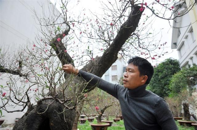 Chủ nhân của hai cây đào là anh Hoàng Hoan ở Nhật Tân, Hà Nội. Anh Hoan cho biết, để đánh được 2 gốc đào này về Hà Nội anh đã phải thuê 15 thợ, băng rừng vượt núi trong nhiều ngày. Sau đó, bứng rễ chở bằng xe trâu rồi mới thuê ô tô đánh thẳng về vườn. Quá trình này diễn ra khá kỳ công, tỷ mỉ để đảm bảo rễ và thân đào không bị dập nát.