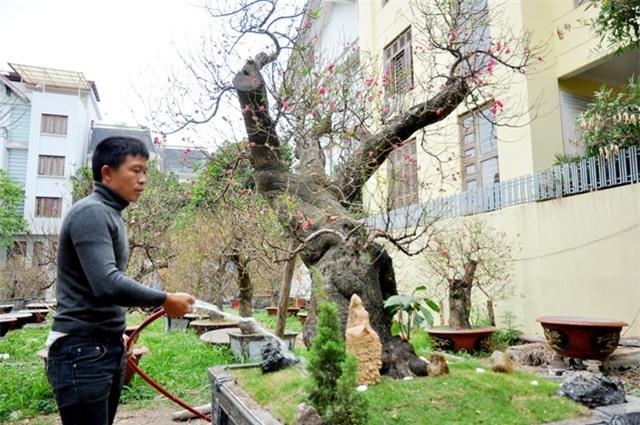 Theo anh Hoan, đào rừng không ưa nước nên 2 – 3 ngày mới tưới nước một lần, đất trồng cây trong chậu cũng phải là đất mới, giàu chất dinh dưỡng để cây phát triển.