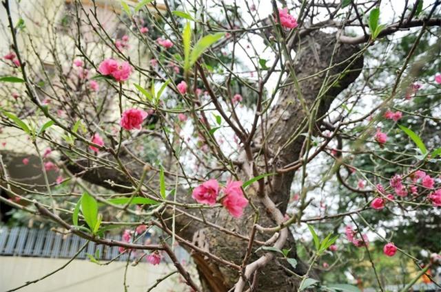 Những bông hoa đào đang nở, lộc xanh mơm mởn.
