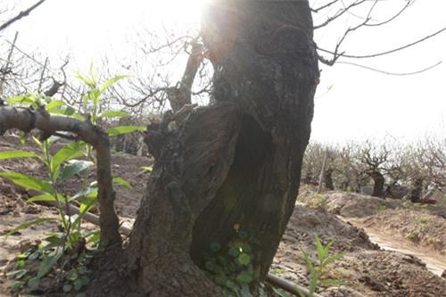 """Ngắm cây đào cổ siêu đẹp, giá """"trên trời"""" cũng không bán - 7"""