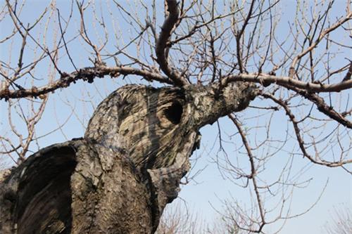 """Ngắm cây đào cổ siêu đẹp, giá """"trên trời"""" cũng không bán - 8"""