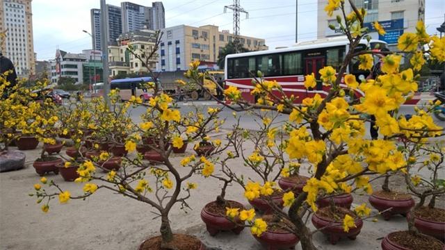 Rất nhiều cây mai vàng đã bung nở khi tết Nguyên Đán Đinh Dậu 2017 còn cách hơn 20 ngày nữa