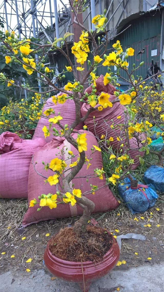Theo người sành chơi mai, nụ hoa có thể để nở được 10 ngày, còn khi hoa đã khai hoa, chỉ có thể để tối đa 3 ngày là hoa sẽ rụng hết