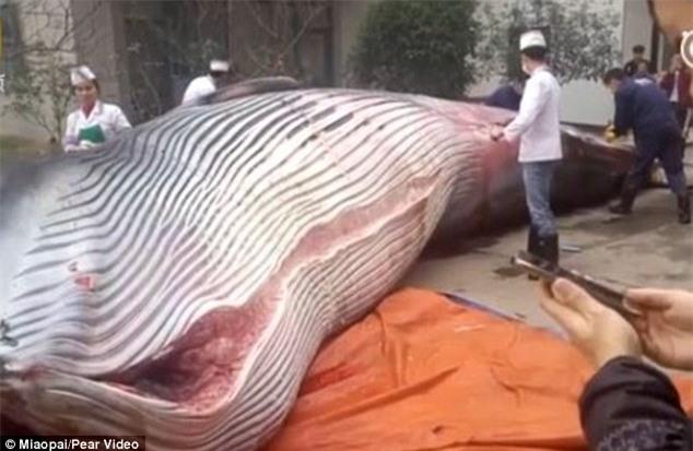 Trung Quốc: Nhà hàng mua cá voi 8 tấn, yêu cầu đầu bếp giết thịt trước mặt quan khách - Ảnh 2.