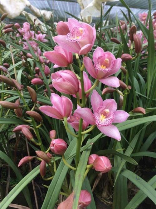 Hồng địa lan nhiều bông lẫn nụ có thể chưng cả dịp Tết