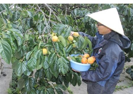 Khi trái hồng thu hoạch về sẽ được gọt vỏ, để lại cuống và được sấy trong lò vài tiếng