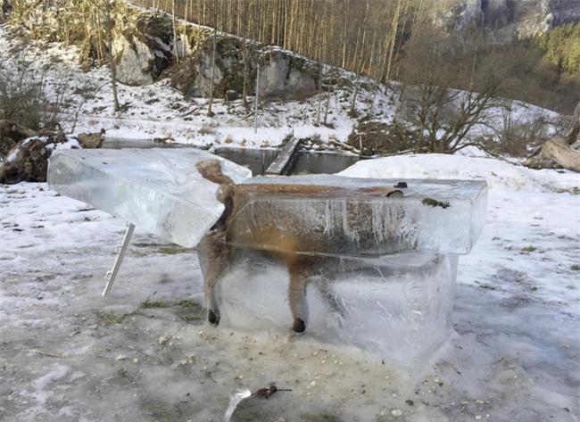 Trời quá lạnh, chú cáo đóng băng sau khi ngã xuống hồ nước - Ảnh 1.