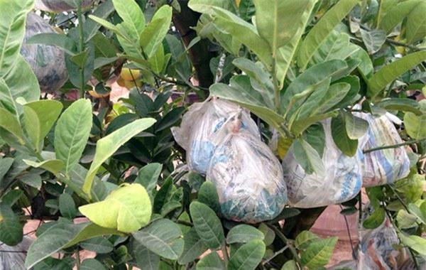 Cảnh lạ: Hàng ngàn quả bưởi 'đắp mặt nạ' đợi Tết