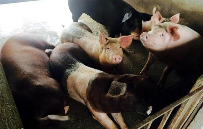 Lợn tẩm bổ thần dược: Mỹ chào thua, Nhật phát thèm