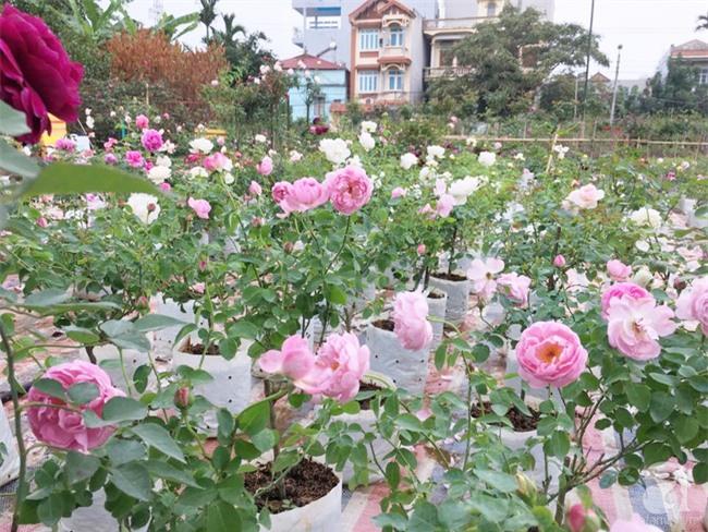 Cận Tết, ghé thăm vườn hồng rộng 900m² với 3000 gốc hồng nở rực rỡ ở ngoại thành Hà Nội - Ảnh 2.