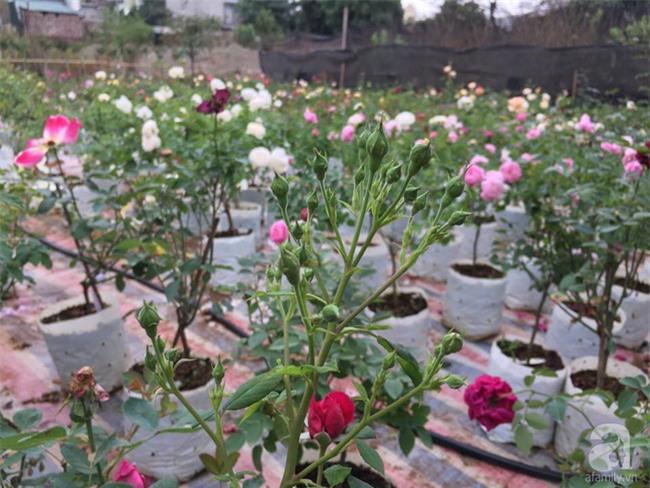 Cận Tết, ghé thăm vườn hồng rộng 900m² với 3000 gốc hồng nở rực rỡ ở ngoại thành Hà Nội - Ảnh 3.