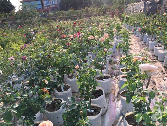 Cận Tết, ghé thăm vườn hồng rộng 900m² với 3000 gốc hồng nở rực rỡ ở ngoại thành Hà Nội - Ảnh 4.