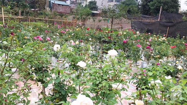 Cận Tết, ghé thăm vườn hồng rộng 900m² với 3000 gốc hồng nở rực rỡ ở ngoại thành Hà Nội - Ảnh 10.