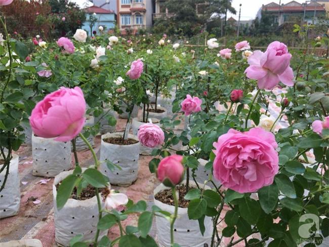 Cận Tết, ghé thăm vườn hồng rộng 900m² với 3000 gốc hồng nở rực rỡ ở ngoại thành Hà Nội - Ảnh 11.