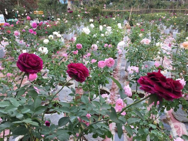 Cận Tết, ghé thăm vườn hồng rộng 900m² với 3000 gốc hồng nở rực rỡ ở ngoại thành Hà Nội - Ảnh 12.
