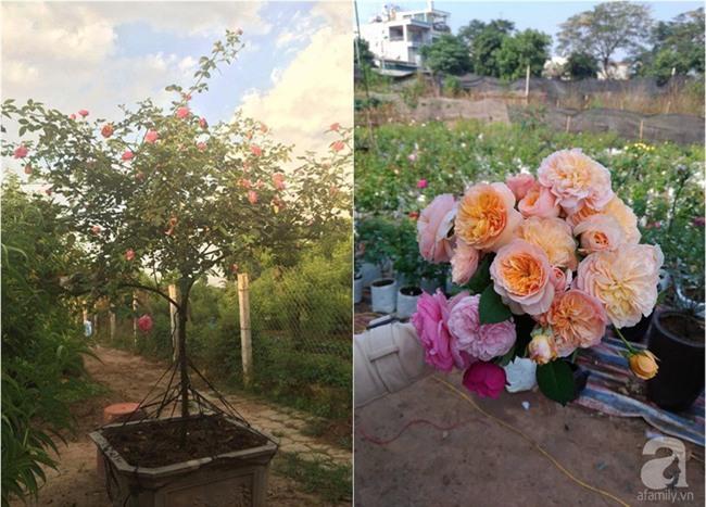 Cận Tết, ghé thăm vườn hồng rộng 900m² với 3000 gốc hồng nở rực rỡ ở ngoại thành Hà Nội - Ảnh 13.