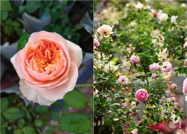 Cận Tết, ghé thăm vườn hồng rộng 900m² với 3000 gốc hồng nở rực rỡ ở ngoại thành Hà Nội - Ảnh 14.