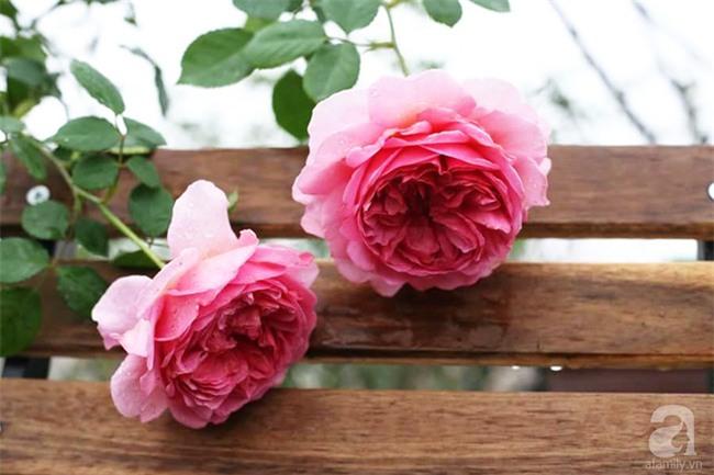 Cận Tết, ghé thăm vườn hồng rộng 900m² với 3000 gốc hồng nở rực rỡ ở ngoại thành Hà Nội - Ảnh 15.