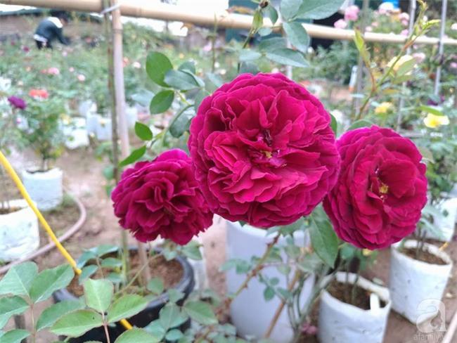 Cận Tết, ghé thăm vườn hồng rộng 900m² với 3000 gốc hồng nở rực rỡ ở ngoại thành Hà Nội - Ảnh 16.