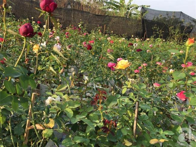 Cận Tết, ghé thăm vườn hồng rộng 900m² với 3000 gốc hồng nở rực rỡ ở ngoại thành Hà Nội - Ảnh 17.