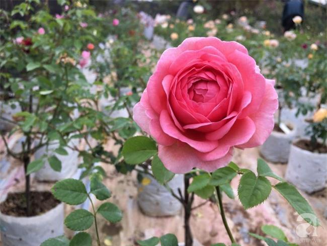 Cận Tết, ghé thăm vườn hồng rộng 900m² với 3000 gốc hồng nở rực rỡ ở ngoại thành Hà Nội - Ảnh 18.