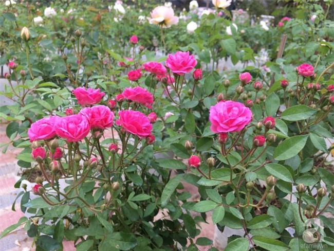 Cận Tết, ghé thăm vườn hồng rộng 900m² với 3000 gốc hồng nở rực rỡ ở ngoại thành Hà Nội - Ảnh 19.