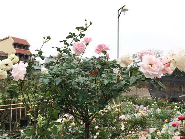 Cận Tết, ghé thăm vườn hồng rộng 900m² với 3000 gốc hồng nở rực rỡ ở ngoại thành Hà Nội - Ảnh 20.