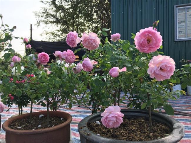 Cận Tết, ghé thăm vườn hồng rộng 900m² với 3000 gốc hồng nở rực rỡ ở ngoại thành Hà Nội - Ảnh 21.
