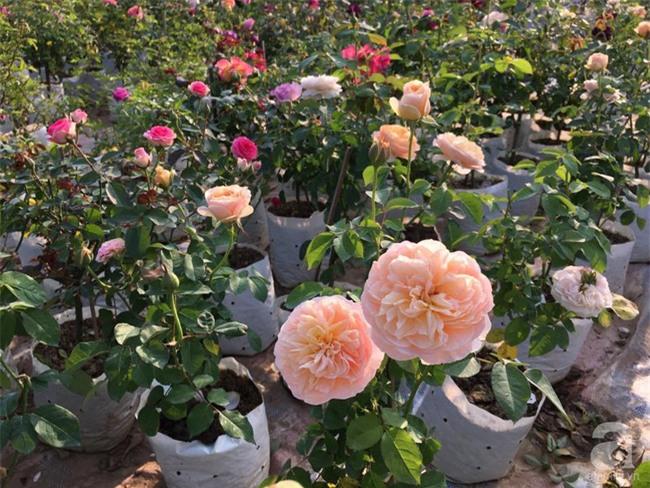 Cận Tết, ghé thăm vườn hồng rộng 900m² với 3000 gốc hồng nở rực rỡ ở ngoại thành Hà Nội - Ảnh 5.