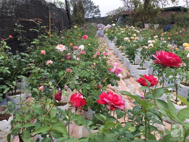 Cận Tết, ghé thăm vườn hồng rộng 900m² với 3000 gốc hồng nở rực rỡ ở ngoại thành Hà Nội - Ảnh 6.