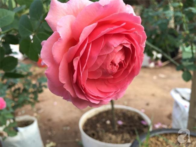 Cận Tết, ghé thăm vườn hồng rộng 900m² với 3000 gốc hồng nở rực rỡ ở ngoại thành Hà Nội - Ảnh 7.