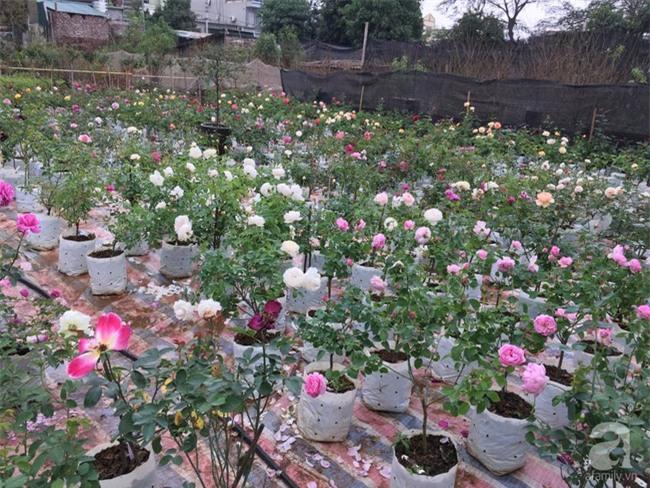 Cận Tết, ghé thăm vườn hồng rộng 900m² với 3000 gốc hồng nở rực rỡ ở ngoại thành Hà Nội - Ảnh 8.