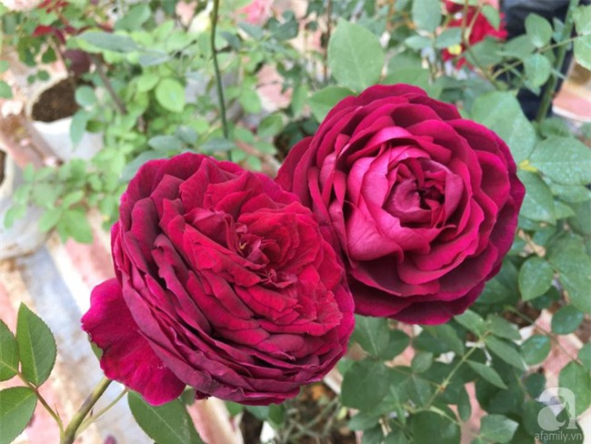 Cận Tết, ghé thăm vườn hồng rộng 900m² với 3000 gốc hồng nở rực rỡ ở ngoại thành Hà Nội - Ảnh 9.