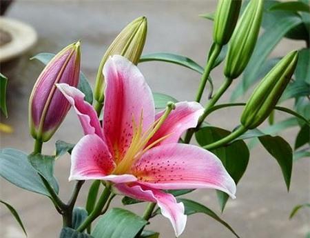 3 loài hoa quý nhà nhà dùng để trưng Tết nhưng cực độc với trẻ con - Ảnh 2.