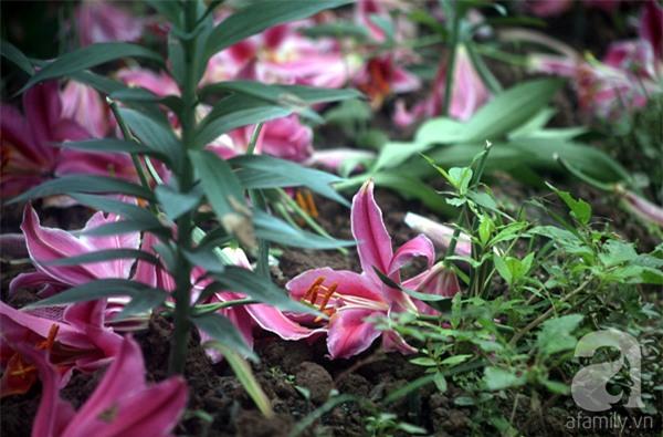 Hà Nội: Nông dân Tây Tựu phát khóc vì hoa ly nở sớm, rụng đỏ ruộng trước Tết - Ảnh 1.