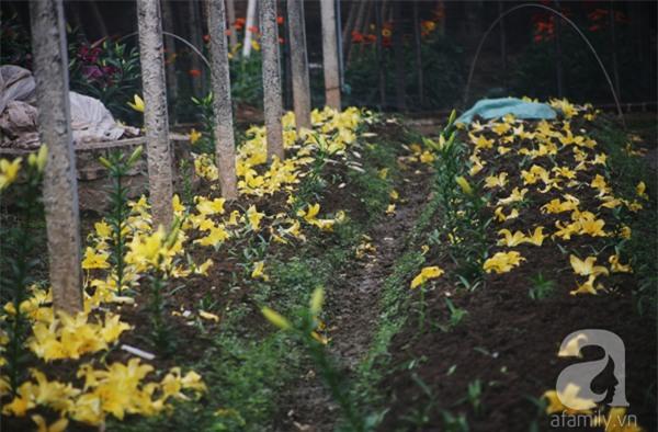 Hà Nội: Nông dân Tây Tựu phát khóc vì hoa ly nở sớm, rụng đỏ ruộng trước Tết - Ảnh 10.