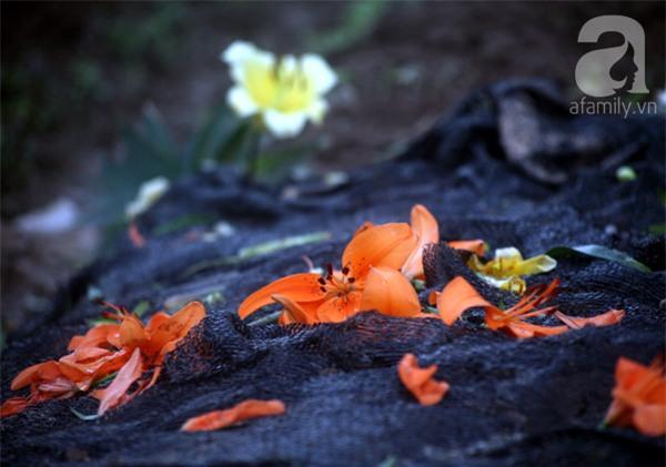 Hà Nội: Nông dân Tây Tựu phát khóc vì hoa ly nở sớm, rụng đỏ ruộng trước Tết - Ảnh 11.